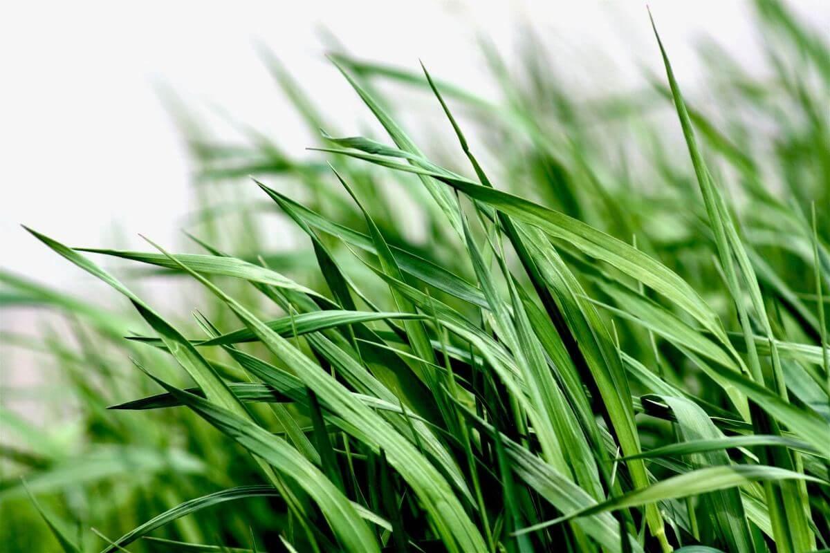 Cut backyard grass Ivanhoe